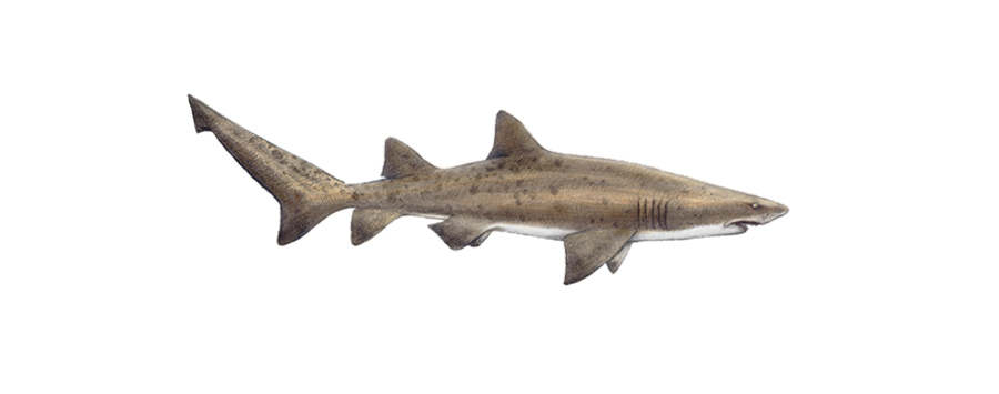 Ragged toothed shark South Africa