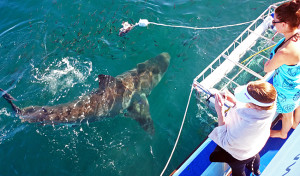 Diving with great white sharks in South Africa