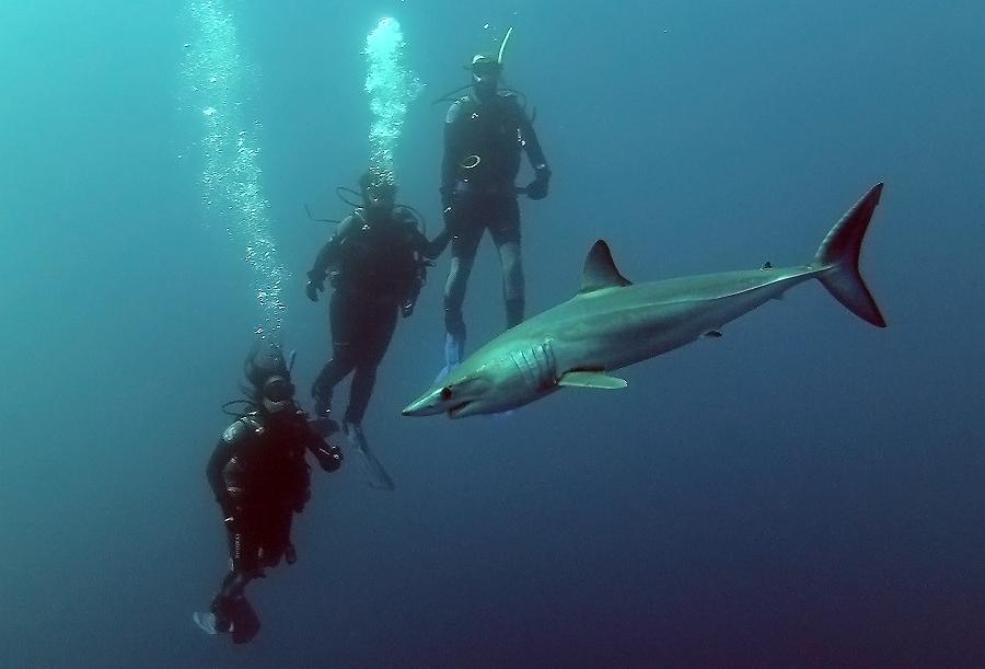 Shortfin Mako Shark Oceans Africa Diving Whale Watching