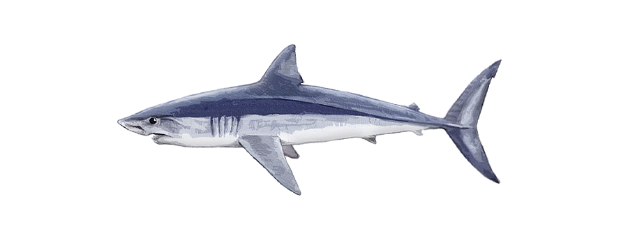 Mako Shark South Africa