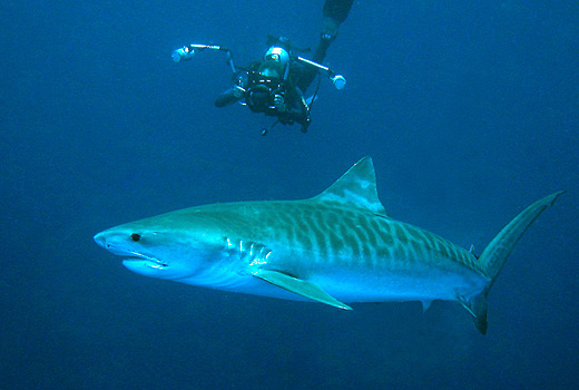 Tiger sharks South Africa